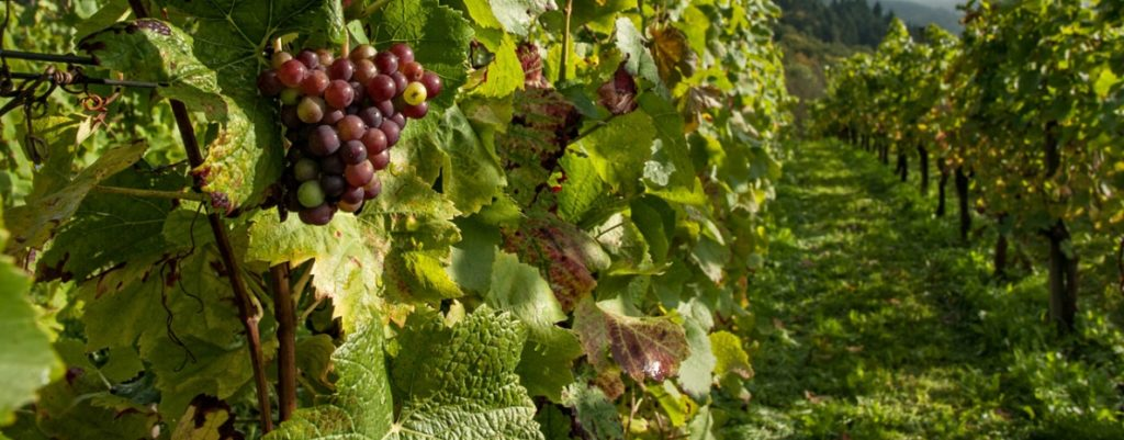SA wine industry expecting its smallest harvest since 2005