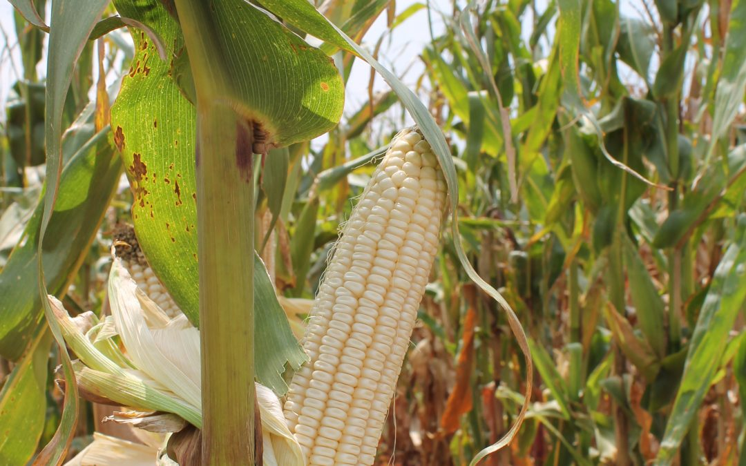 Stakeholders call for increased funding for fall armyworm response